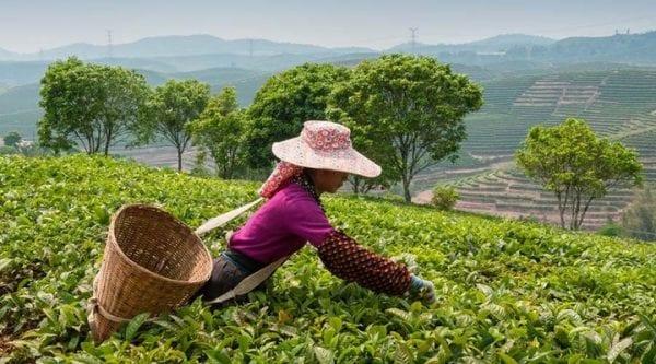 হ্যাপি ভ্যালি টি এস্টেট (Happy Valley Tea Estate)