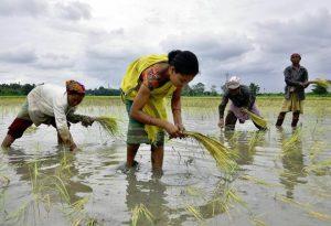 প্রচুর বৃষ্টিপাতের ফলে এইবার শস্যের ফলন বেড়ে উঠল ভারতে
